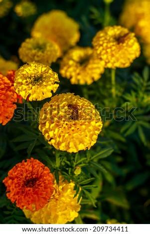 bee on lantana camara flowers. shallow dof, selective focus.. - stock photo