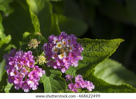 Bee on Lantana's aromatic flower clusters ( umbels)  a mix of red, orange, yellow, or blue and white florets  these being brilliant carmine pink and cream on a large shrubby bush blooming in autumn.