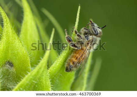 Bee on leaf gathering pollen.