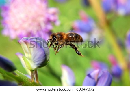 Bee on lupine flower - stock photo