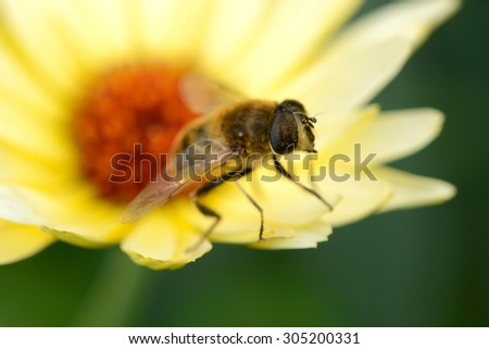 Bee on marigold in the nature