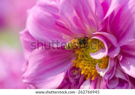 Bee on pink dahlia flower, macro. - stock photo