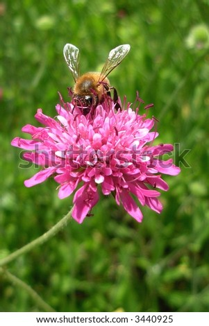 Bee on Pink Flower with Green Background - stock photo