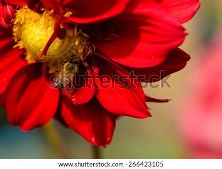 Bee on red dahlia flower, macro. - stock photo