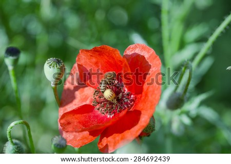 Bee on red poppy flower collects pollen and nectar - stock photo