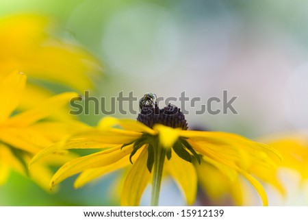 bee on rubekia (black eyed susan)