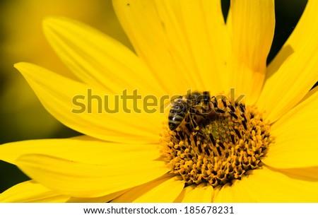 bee on slunflower - stock photo