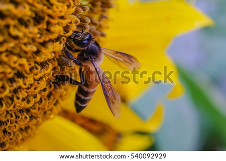 bee on sun flower