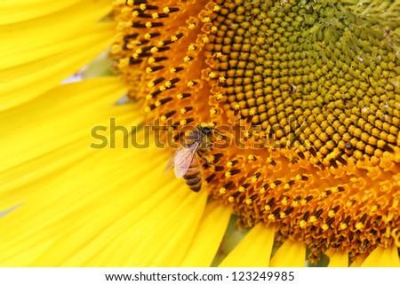 Bee on sunflower pollen - stock photo