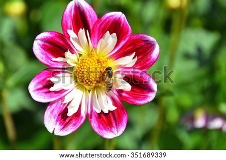 Bee on the dahlia flower - stock photo