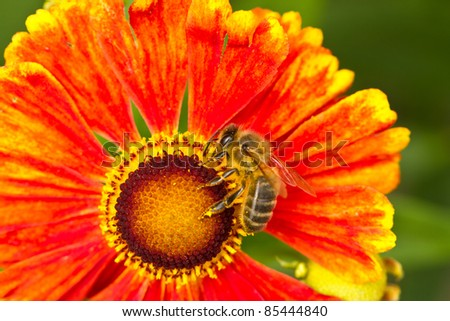 Bee on the flower close up - stock photo