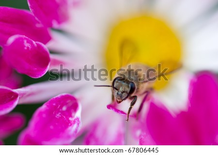 Bee on the flower collecting the nectar - stock photo