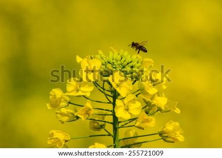 bee on the rape flower - stock photo