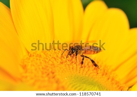 bee on the sunflower - stock photo