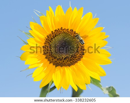bee on the sunflower collect nectar  against the sky - stock photo