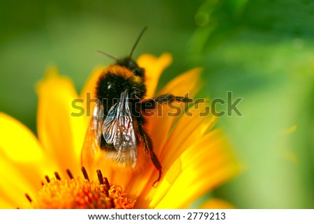 Bee on the yellow camomile