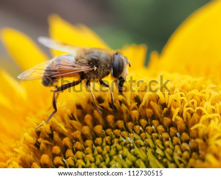 Bee on the yellow flower, collecting nectar. Shallow depth-of-field. - stock photo
