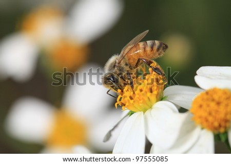 Bee on top of Flowers working for food - stock photo