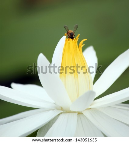 bee on top of white lotus flow - stock photo