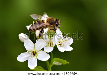 Bee on white flower collecting pollen. Macro. - stock photo