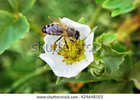 Bee on white flower collecting pollen . Macro. - stock photo