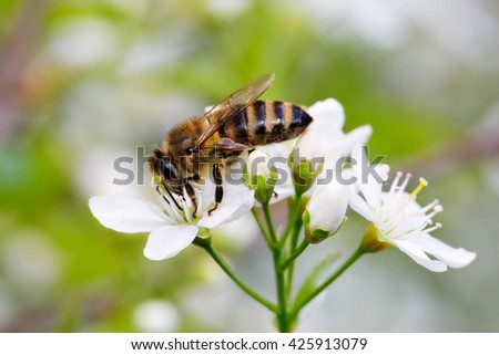 Bee on white flower collecting pollen . Macro - stock photo