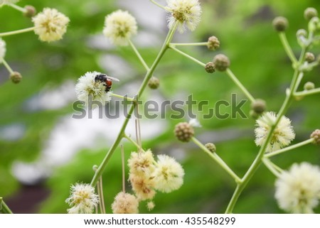 Bee on white flower collecting pollen. suck nectar from flowers :select focus with shallow depth of field. - stock photo