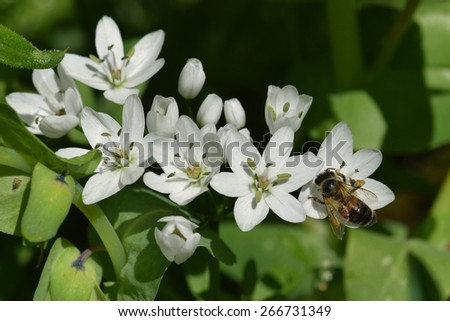 Bee on white flower spring nature detail. - stock photo