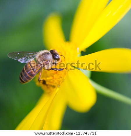 Bee on yellow daisy, and collecting nectar - stock photo