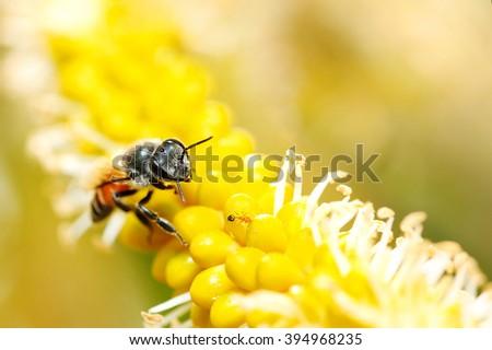 Bee on Yellow Flower, Close Up Macro - stock photo
