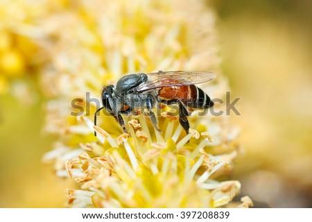 Bee on Yellow Flower, Close Up Macro, Bee search honeydew - stock photo