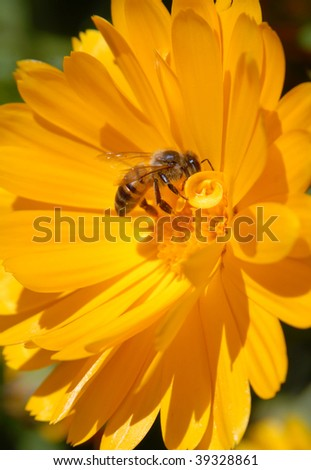 Bee on yellow flower. Close-up shot.