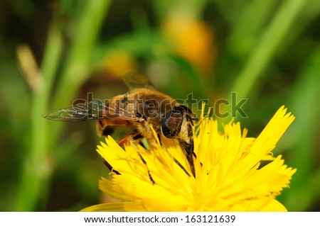 Bee on yellow flower close-up. The background is blurred.