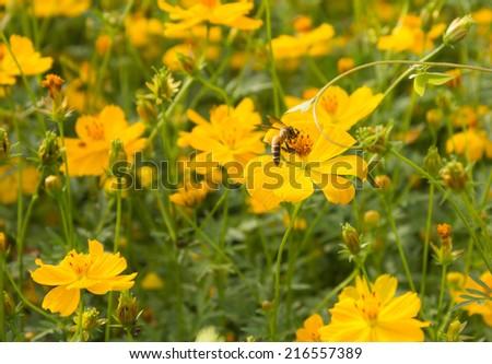 bee on yellow flower feild  - stock photo