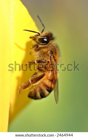 Bee on Yellow Petal