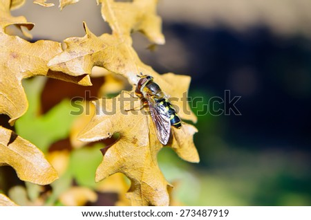 Bee perched on dried yellow leaves with blurred background - stock photo