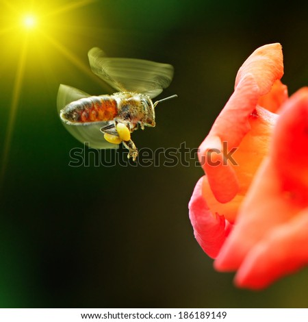 bee pollinating a flower lit by the sun - stock photo