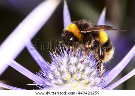 Bee pollinating a thistle