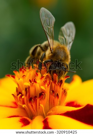 Bee Pollinating Marigold Flower Close-Up - stock photo