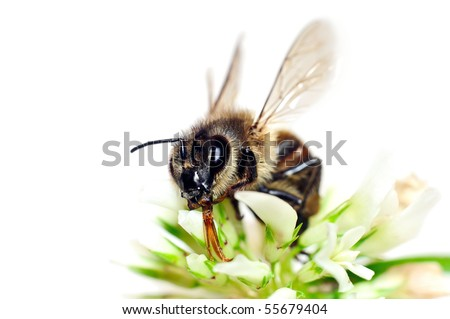 Bee pollinating white clover flower isolated on white background - stock photo