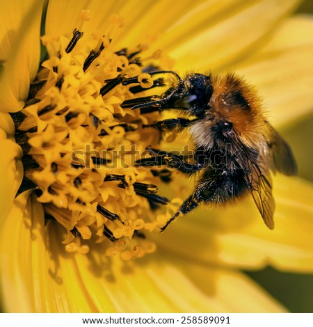 Bee pollinating yellow flower close-up macro - stock photo
