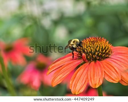 Bee seeking nectar from center of orange flower. - stock photo