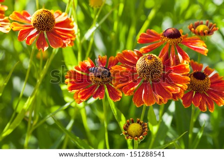 bee sips nectar from red gaillardia flower close up - stock photo