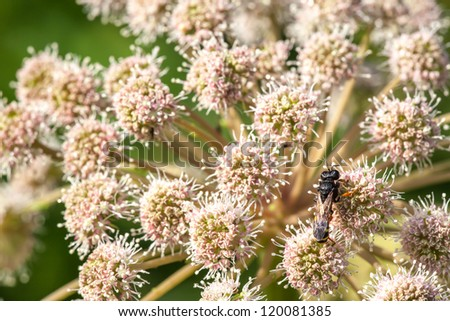 Bee sitting on a flower a yarrow. - stock photo
