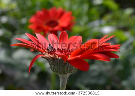 bee sucking honey on a red flower - stock photo