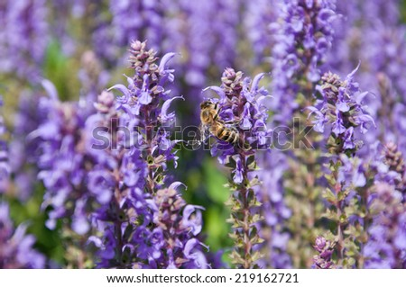 bee sucking nectar on a salvia bloom - stock photo