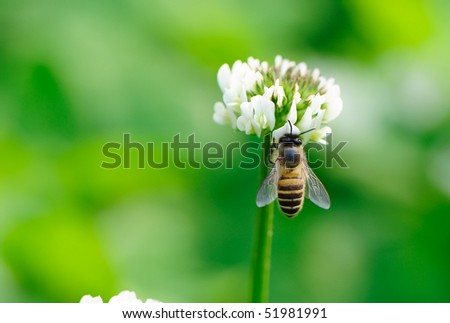 bee white flower on green grass background - stock photo