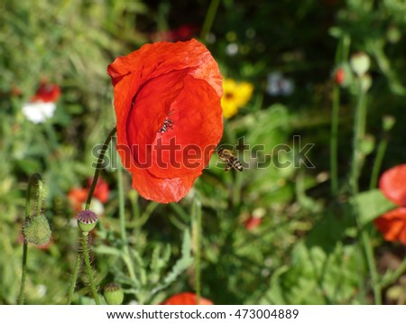 Bee with opium poppy