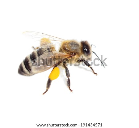bee with pollen isolated on the white - stock photo