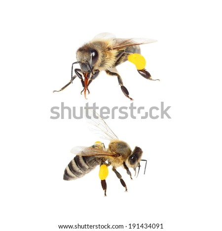 bee with pollen isolated on white (with clipping path) - stock photo